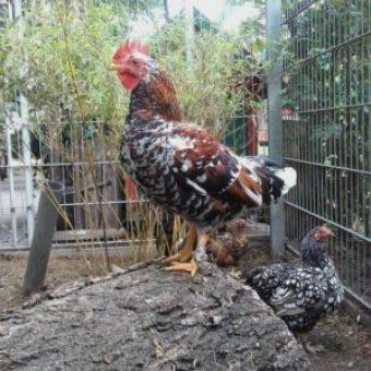 Huhn bei Sascha Winkler Garten und Landschaftsbau