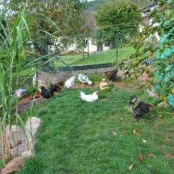 Huehner im Garten