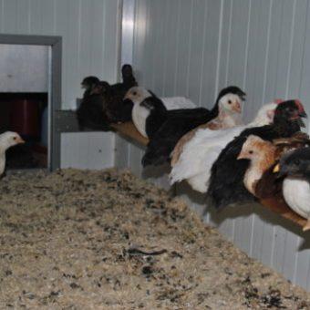 Küken Sitzstange im Hühnerstall