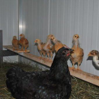 Sitzstange im Hühnerstall mit Küken